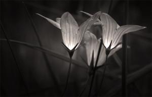 černobílá fotografie květiny